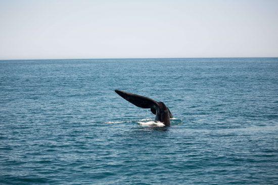 """Um dos maiores membros dos """"Big 5"""" marinhos, as baleias-jubarte podem pesar entre 25 a 30 toneladas"""