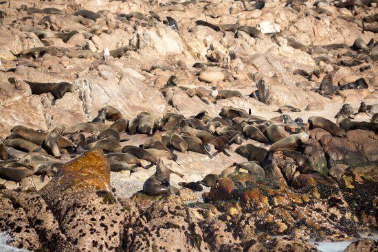 A colônia de lobos-marinhos-do-cabo perto de Gaansbai