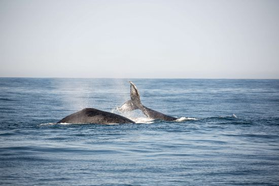 Baleias-jubarte são vistas em abundância nos mares do sul da África durante a época de acasalamento