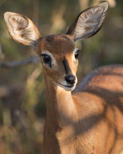 A female steenbok entered into wildlife portraits