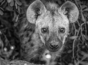 APOTY Photo: A baby hyena