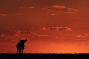 A wildebeest silhouette entered into wildlife portraits