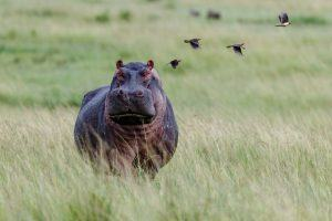 APOTY Photo: A hippo and some ox-peckers