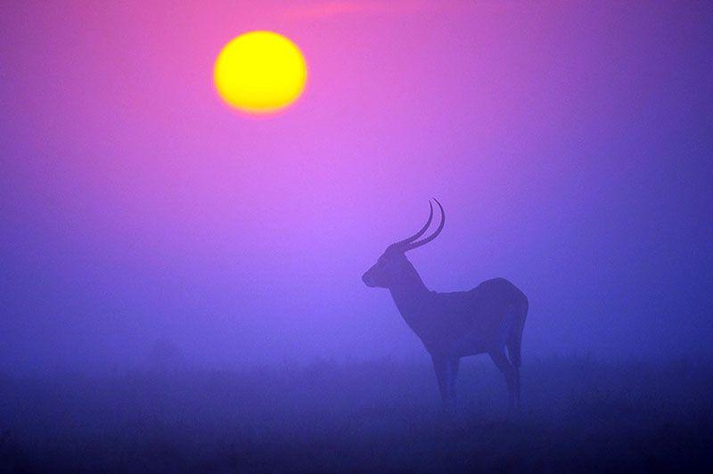 Silhueta de um kobus leche ao pôr do sol, arredores de Busanga Bush Camp