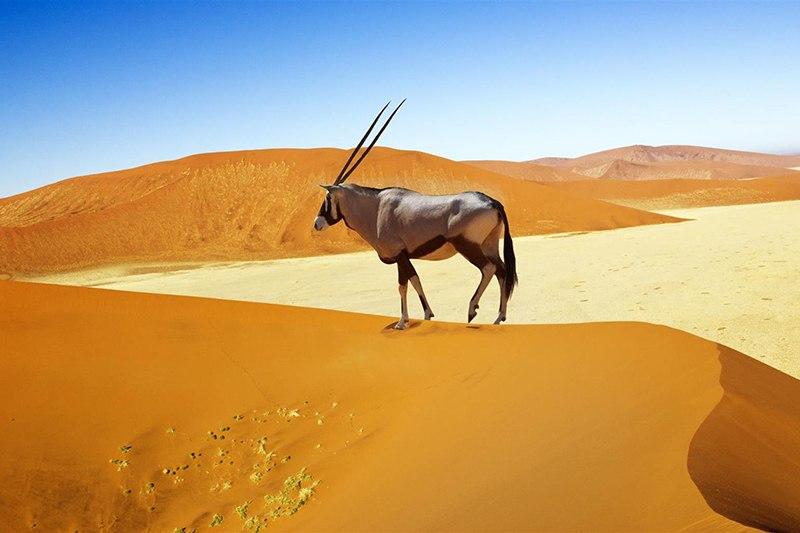 Órix caminha pelas dunas de Sossuvlei, Namíbia