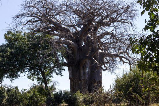 Ein Baobab-Baum im Gonarezhou Nationalpark