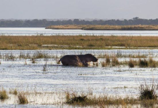 Flusspferd marschiert durchs Wasser in den Sümpfen im Mana Pools Nationalpark