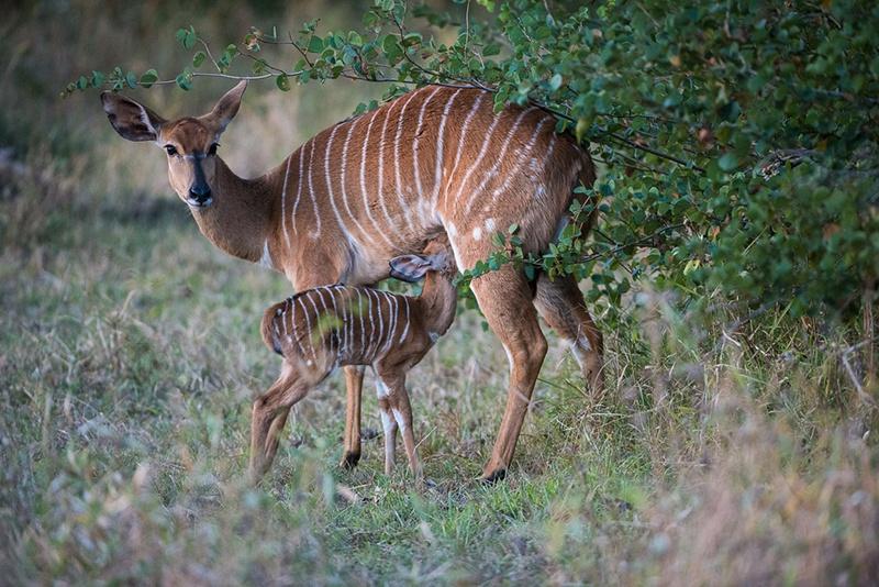 Inhala e filhote são vistos nos arredores de Sabi Sabi Bush Lodge