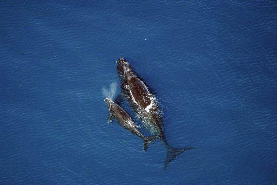 La saison des baleines en Afrique du Sud