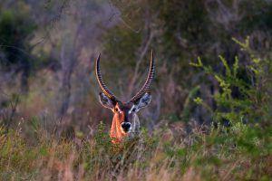 animaux d'afrique : cobe à croissant