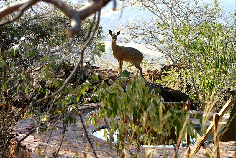 Klipspringer, Waterberg Plateu Lodge, África do Sul
