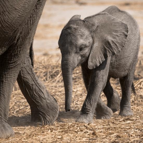 Ein kleiner Elefant folgt seiner Mutter