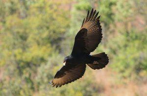 Victoria Falls Special Species