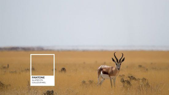 Etosha Pantone série et un springbock sur fond de savane dorée