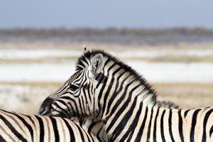 Zèbre à découvrir lors d'un voyage au Kenya.