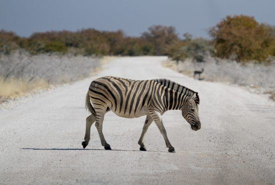 Zèbre traversant la route dans la Parc National d'Etosha en Namibie.