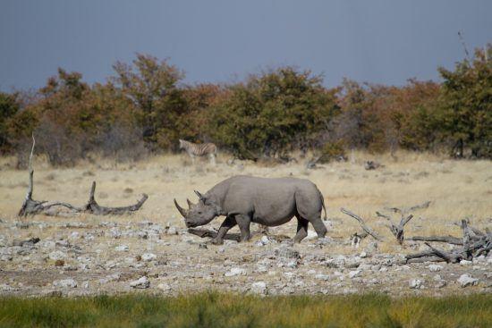 Rhinocéros noir dans le Parc National d'Eotsha en Namibie.
