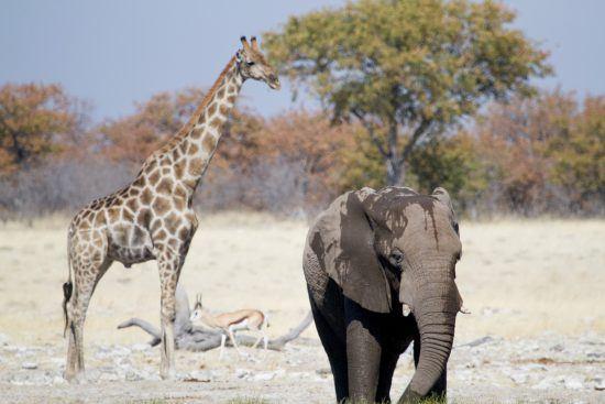 Safari à Etosha et panorama avec girafe et éléphant près d'un point d'eau.