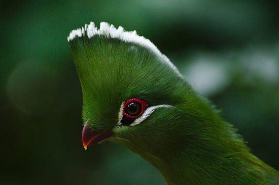 Tauraco persa em Birds of Eden, Plettenberg Bay