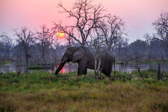 Ein Elefant schreitet bei Sonnenuntergang durchs Okavango Delta