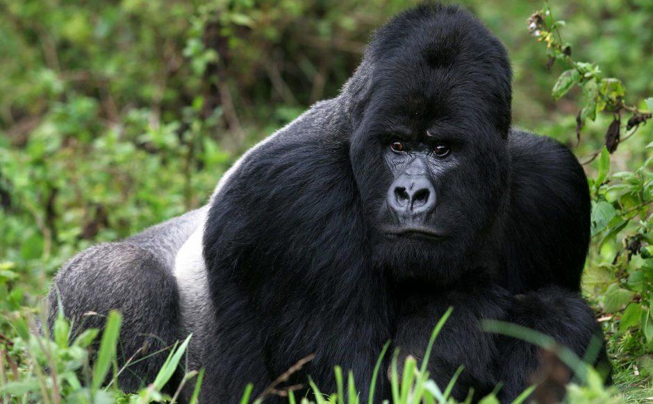 Calendrier de voyage africain: Un légendaire gorilles des montagnes dans la forêt rwandaise