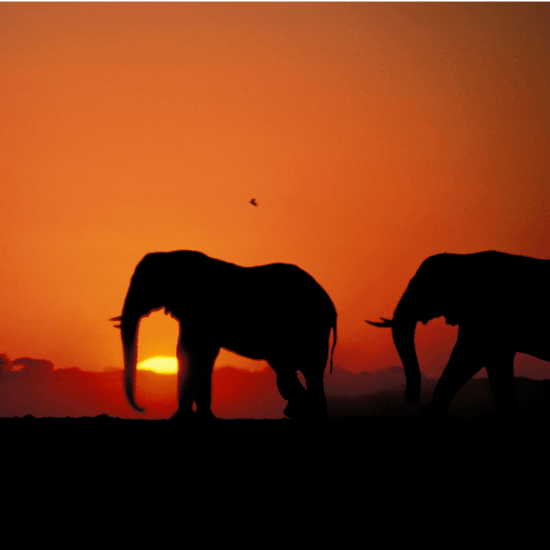 Die Silhouette von zwei Elefanten vor einem farbintensiven Sonnenuntergang