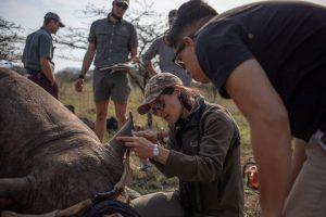 Dehorning a Rhino