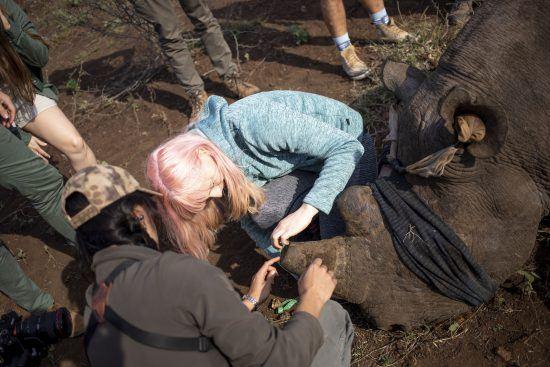Zwei Frauen vermessen das Horn eines Spitzmaulnashorns