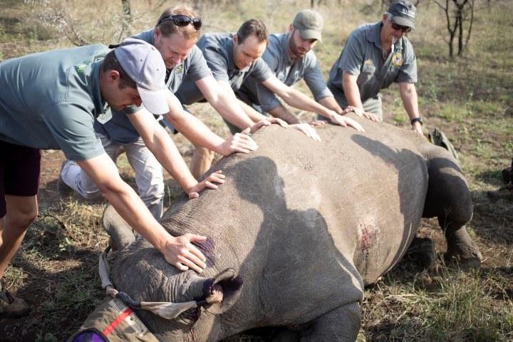 Fünf Männer helfen, ein betäubtes Spitzmaulnashorn auf die andere Seite zu drehen