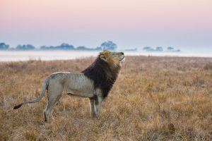 Le lion est un des Big 5 à admirer au lors d'un voyage au Kenya