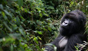 Mountain Gorilla in Rwanda on gorilla trekking expedition