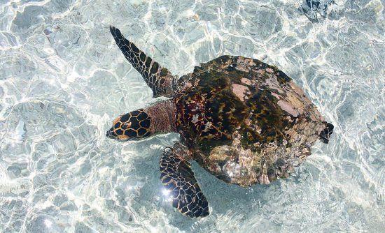 Tartaruga é vista de cima enquanto nada nos arredores da Coco Island
