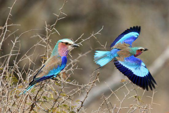 Wetter im Krüger Nationalpark: Zwei Blauracken in Südafrikas größtem Schutzgebiet