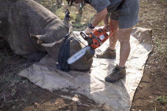 World Rhino Day 2019: Mit Kettensäge zum Schutz der Nashörner