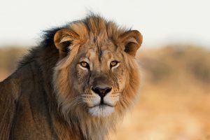 animaux d'afrique : lion mâle
