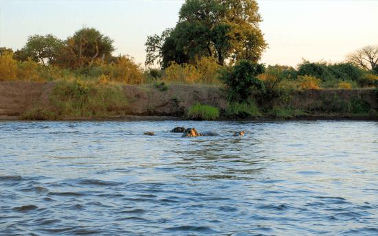 Observe animais como hipopótamos e crocodilos em uma atividade de canoagem no rio Zambeze