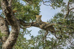 Léopard sur une branche pour l'article du paludisme en Afrique