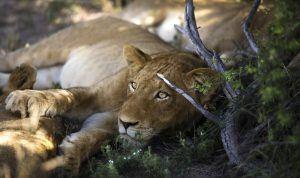 Le paludisme en Afrique n'empêchent pas un safari réussi en Afrique.