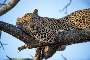 animaux d'afrique : léopard perché dans un arbre