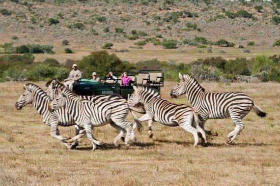 Zebras rennen an einem Safari-Fahrzeug im Kwandwe Private Game Reserve vorbei