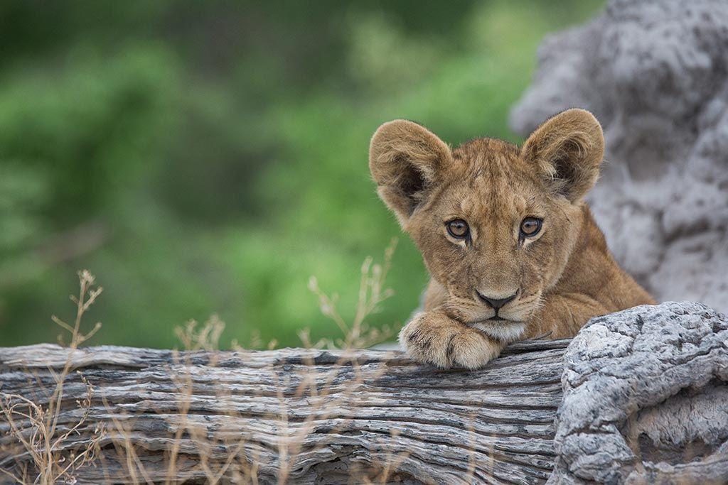 Cachorro de león descansa sobre un tronco