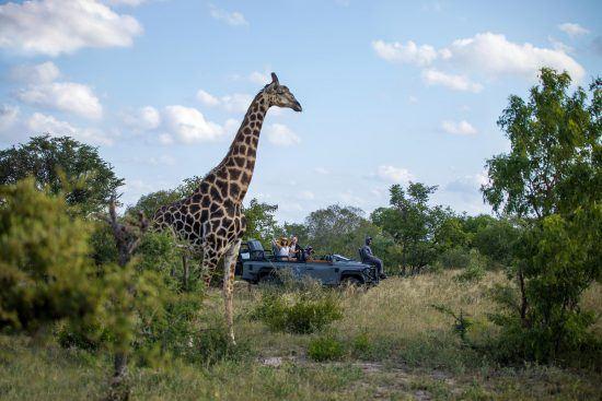 Météo au Parc Kruger | Girafe dans la réserve de Sabi Sand