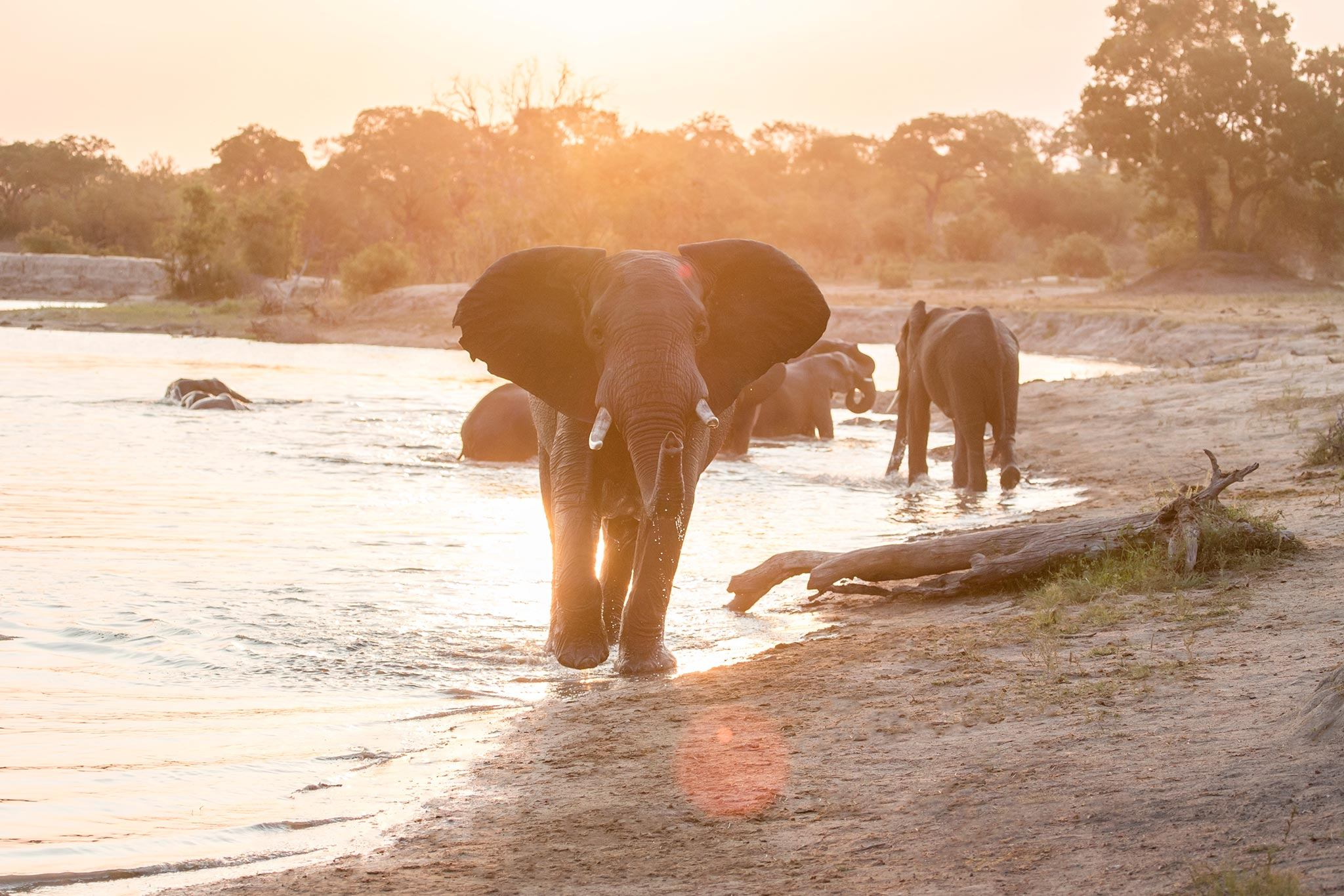 Majestic elephant bathing in the water at sunrise
