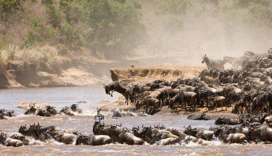Gnus überqueren einen Fluss in Ostafrika