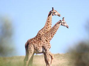LA réserve d'Amakhala est idéale pour un safari sur la Garden Route en Afrique du Sud : venez observer les girafes d'un peu plus près !