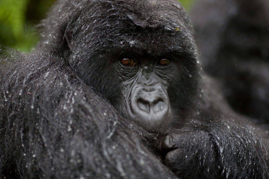 Gorille en Ouganda - Calendrier de voyage africain