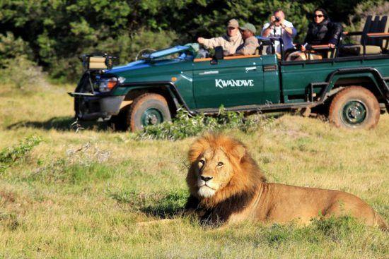 Safari an der Garden Route: Ein Löwe liegt vor einem Safari-Fahrzeug im Kwandwe Private Game Reserve