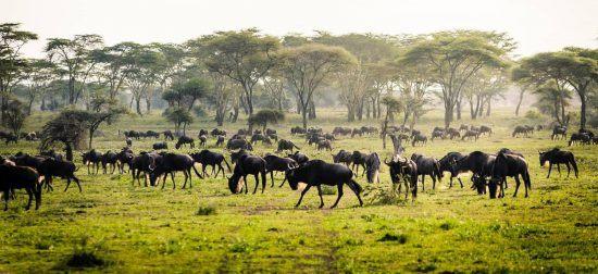 Gnus auf grünem Gras in Ostafrika