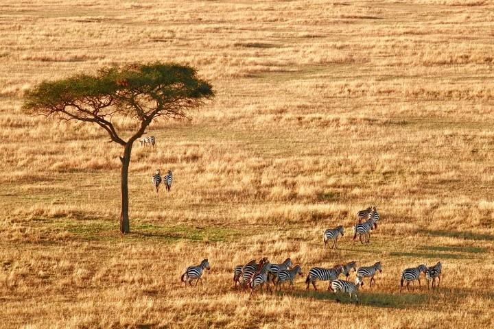 Tierbeobachtungen im Pärchenurlaub in Ostafrika: Eine Herde Zebras unter einem Baum in der Savanne der Serengeti