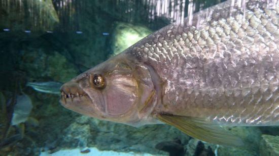 Nahaufnahme eines Tigerfischs